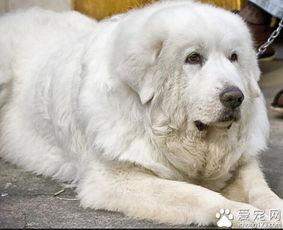 大白熊犬能长多大 英勇聪明的大型犬