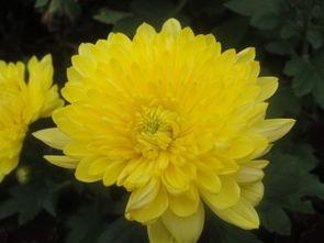 春天的菊花的描写句子_秋天描写菊花的句子