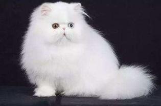 血统高贵的4种猫咪