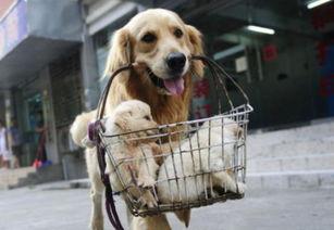 那一只超懂事帮主人卖小狗挣钱的金毛,被偷狗贼毒死吃肉了
