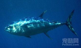 金枪鱼的困境 50年间数量已经减少90