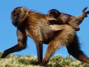 狒狒幼崽(埃塞俄比亚)