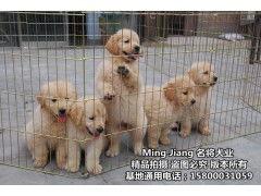 深圳哪里可以买到健康金毛犬 金毛犬寿命有多长