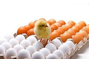 蛋鸡养殖小知识