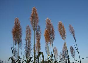 高粱 植物天地 自然大世界