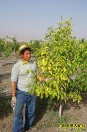 新疆的香梨树