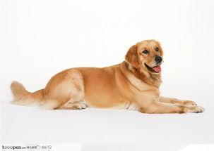 可爱宠物 趴在地上的金毛狗狗