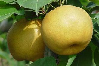 求购,山东红香酥梨树苗价格