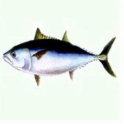 金枪鱼的贸易如何做?