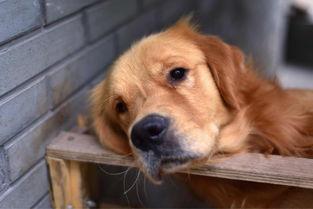 霸气的小狗与卖萌的金毛