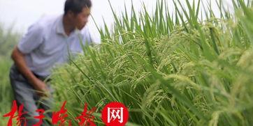 赵亚夫指导,句容天王镇双季稻丰收在望