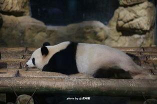 十四,[夜间长隆]夜间探访长隆还是第一次,吃完晚饭后,动物园里游客散去,白天的动物园变得沉静下来,我们晚上去丛林发现听医生给我们讲解动物的生长过程,去六毛之家看八毛,到考拉园去和考拉合照,都熊猫馆去喂食熊猫.