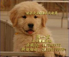 标题 珠海边度有卖金毛幼犬纯种金毛幼犬价格金毛犬图片