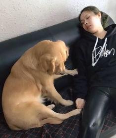 女孩假装睡觉不理金毛,狗狗急坏了主动出击