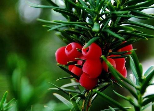 红豆杉养花