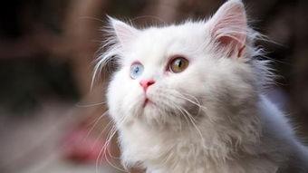 猫局部脱毛皮肤变黑,猫皮肤发黑掉毛