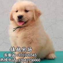 金毛犬图片