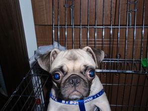 狗狗注射疫苗后2周内不要给狗狗洗澡