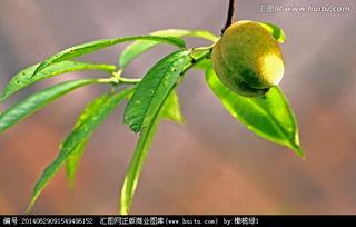 枝头上的桃子句子