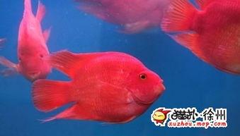 鱼怎么分公母(鱼是怎么分公母的)