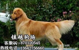中山哪里有卖纯种金毛犬中山美系金毛犬一般要多少钱