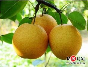 秋季吃梨正当时 这十种秋梨的养生各不同
