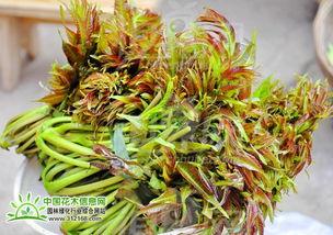香椿树繁殖和栽培管理