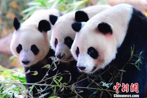 全球唯一大熊猫三胞胎萌帅酷迎四岁生日7月29日,大熊猫三胞胎萌帅酷三姐弟在广州长隆野生动物世界度过四岁生日.