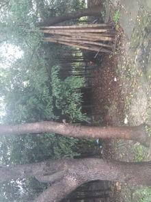 風水樹如何保護