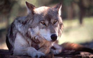 狼的野心,值得学习!