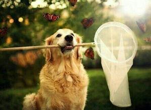 使金毛犬致死的常见病有哪些,金毛狗狗的致命疾病