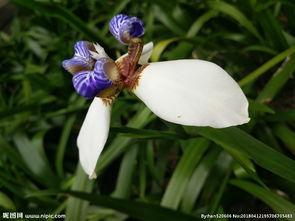 家养花草四巴西鸢尾兰