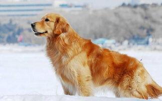 地球上10大最好养的狗,金毛犬第八,博美第二