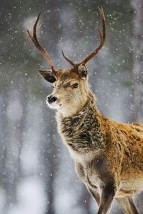 唯美的森林鹿图片 9张