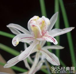 我是美丽的兰花草 金沙树菊
