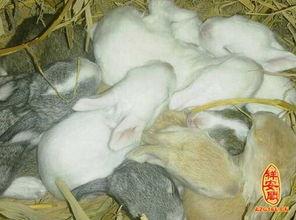梦见一窝小兔子