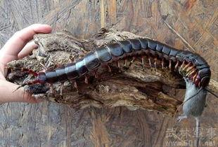 世界上最大的蜈蚣 咬上一口非死即伤