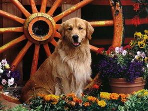 高智商的金毛犬图片 2