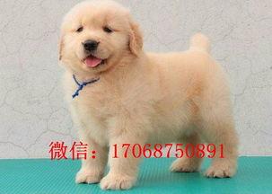 沈阳哪里有卖金毛 沈阳纯种金毛多少钱 金毛价格 金毛幼犬图片