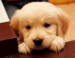金毛幼犬怎么养