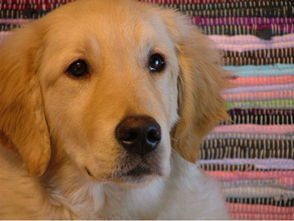 金毛突然失踪,以为被狗贩子抓走,结果三个月后带了两只小狗回来