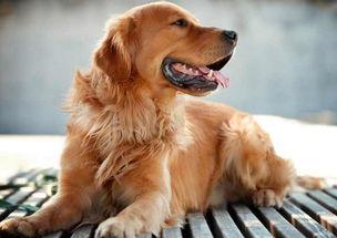 金毛也可以看家护院的,金毛的寿命有多长