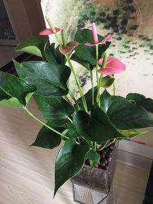 粉红带绿的水养花是什么