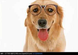 怎么挑选一只健康的金毛犬,新手怎么养好金毛犬