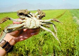 稻田蟹的营养价值 稻田蟹的做法 食用稻田蟹的注意事项 稻田蟹的养殖技术 家居百科