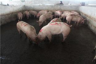 赤峰的雨润屠宰猪厂都有哪些