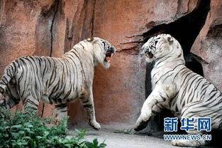 饿死东北虎 动物园重新开放