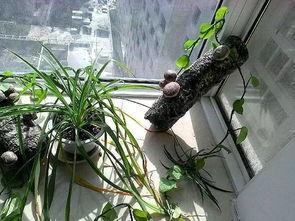 旧香菇藤可以用来养花吗