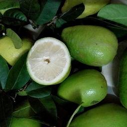 台湾香水柠檬 2 2.6两价格4元 斤 200斤起批 惠农网