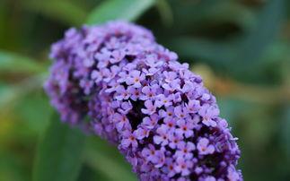 风水家里能种丁香花吗
